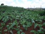 Food garden linked to ZACF-PMCP anarchist project, Motsoaledi squatter camp, Soweto, 2007 [2]